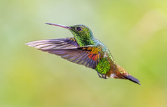 San Pablo's angel. Copper Rumped Hummingbird, San Pablo Retreat and Guest House, Valencia, Trinidad. (pedro lastra) Tags: trinidad hummingbird asa wright san pablo retreat yerette
