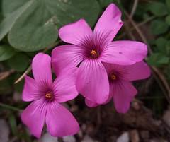 Fiori (Creative-Pixel) Tags: flowers fiori fiorellini