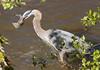 IMG_5262 Great Blue Heron (cmsheehyjr) Tags: cmsheehy colemansheehy nature wildlife bird heron greatblueheron jamesriver richmond virginia floodwall ardeaherodias
