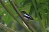 oriental magpie robin (praveen.ap) Tags: oriental magpie robin orientalmagpierobin bird ngc animal planet