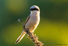 Red-backed shrike (Lanius collurio) (Svitlana Tkach) Tags: bilsk poltavskaoblast ukraine wild wildbird bird passerines nature wildlife birdwathing laniuscollurio redbackedshrike cорокопутжулан rødryggettornskade neuntöter alcaudóndorsirrojo сорокопудтерновий обыкнове́нныйжула́н piegriècheécorcheur averlapiccola セアカモズ tornskate picançodedorsoruivo törnskata 红背伯劳 strakošobyčajný gąsiorek grauweklauwier þyrnisvarri pikkulepinkäinen ťuhýkobecný