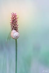 Haute_saône_0717-249 (Mich.Ka) Tags: franchecomte escargot extérieur gastéropode hautesaône macro macrophotographie mollusque nature plante proxyphotographie snail