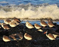 Seabirds On The Shore - St. Mary's Island (Gilli8888) Tags: northeast birds seaside northsea shore shoreline nikon p900 coolpix whitleybay tyneandwear stmarysisland sea water rocks rockpool oystercatcher plover ringedplover sanderling waves seascape