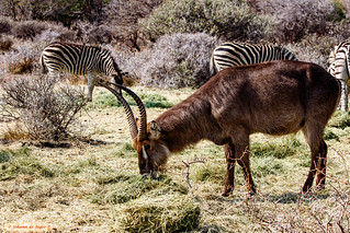 Waterbuck and parts of zebras....