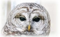 Captive barred owl - New Jersey (superpugger) Tags: owl owls barredowl barredowls rescue wildlife owlportrait portraits animalportraits