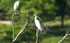 Bubulcus ibis (Cattle Egret) (Guilherme Fialho Soares) Tags: nikon bird sigma landscape tree forest green color white yellow eyes photo photofraphy photographer picture pic earth life wildlife nature animal day morning sun light shadows lights details art beauty
