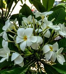 ainda é primavera (luyunes) Tags: florada flor flores flowers branco white motoz luciayunes