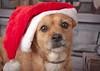 Bienvenido Diciembre. Con Trulli. (garciacarolina28) Tags: perros perro dog animalcompañia animals dogforever can navidad merrychristmas xmas miamigo miradas myfriend mybestfriend mydog miperro