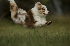 Gallie's areo-run (Joe McAuliffe) Tags: red merle run jump chase play australian shepherd puppy aussie canine hound photo photography nikon 400