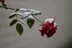 All things must pass (Kai Beinert) Tags: rose winter makro flower nature natur blume minimalismus minimalism bokeh nikon