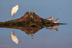 Share the Stump (dngovoni) Tags: action bird bombayhook delaware egret summer sunrise water wildlife smyrna unitedstates us