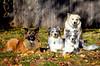 My Herding Advisors ([ lee ]) Tags: maggie dallas olivia seamus herding dogs aussie australian shepherd border collie