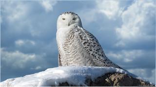 Snowy Owl - Composite image 6