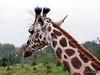 DSC_3025 (Roelofs fotografie) Tags: wilfred roelofs nikon d5600 wildlands emmen 2017 zoo dierentuin animals nature neterlands dutch holland outdoor animal adventure grass tree green landscape giraf giraffe