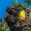 Yellow-tailed Black-Cockatoo (CedricBear) Tags: cockatoo birds mulligansflat yellowtailedblackcockatoo calyptorhynchusfunereus