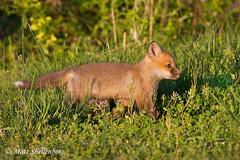 Red Fox Kit (Matt Shellenberg) Tags: red fox redfox kit redfoxkit