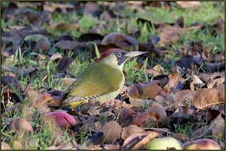 Green Woodpecker (image 2 of 2)