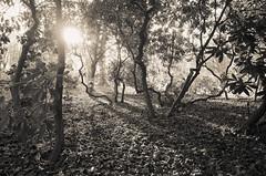 December sun (elisachris) Tags: berlin tiergarten dezember december sonne sun natur nature wald baum wood forest sepia ricohgr