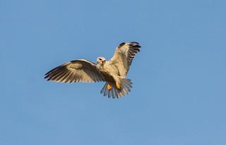 Peneireiro-cinzento (Elanus caeruleus)
