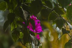 BUNGAVILLEA NELLA FORESTA    ----    BUNGAVILLEA IN THE FOREST (cune1) Tags: natura nature fiori flowers foresta forest colori colors pericolo danger africa costadavorio lagunadigrandbassam