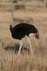 Struthio camelus ♂ (Common Ostrich) Breeding - South Africa (Nick Dean1) Tags: struthiocamelus commonostrich animalia chordata aves ostrich thewonderfulworldofbirds birdperfect birdwatcher bird krugernationalpark southafrica canon satara