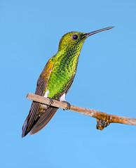 Copper Rumped Hummingbird, San Pablo Retreat and Guest House, Valencia, Trinidad. (pedro lastra) Tags: trinidad hummingbird asa wright yerette san pablo retreat