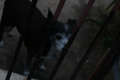 Stitch (Levy Morato) Tags: dog littledog olddog photography levymorato votorantim sp brasil