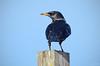 Estorninho Preto - Spotless Starling - Sturnus unicolor (Yako36) Tags: portugal peniche ave bird birdwatching nature natureza nikon200500 nikond7000