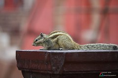 Confused (aghiljv) Tags: nikon confusion new squirrel delhi tbt brown aghiljvphotography love red trending photographer jantarmantar nikond3200 nationalgeographic photooftheweek