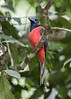 Red-naped trogon (staf_ferry) Tags: rednaped trogon panti bird sanctuary kota tinggi malaysia johor