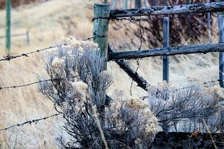 Sagebrush & barbed wire