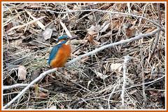 Martin-Pêcheur 171201-01-RP (paul.vetter) Tags: oiseau ornithologie ornithology faune animal bird martinpêcheur alcedoatthis eisvogel kingfisher
