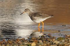 DSC01530 (simonbalk523) Tags: wildlife nature widewater sussex photography sony tamron lagoon redshank