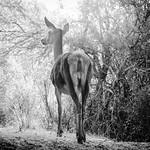 Lady deer thumbnail