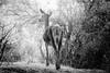 Lady deer (ranssom.) Tags: animal parnes blackandwhite monochrome inexplore parnitha