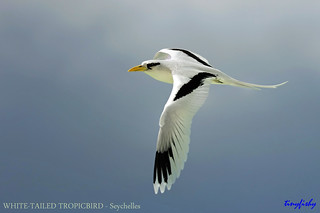 Improved & Replace : WHITE-TAILED TROPICBIRD