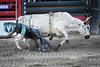 Jackson Hole 1707-1482.jpg (DevonshireMedia) Tags: wyoming jacksonhole travel 2017 grandtetons rodeo tetons