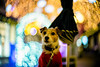 Twinkling with Joy (moaan) Tags: kobe hyogo japan jp dog jackrussellterrier kinoko portrait dogportrait illuminated illuminations nightlights nightshot nightphotography dof depthoffield bokeh bokehballs bokehphotography leica leicaphotography leicamp noctilux 50mm f10 leicanoctilux50mmf10 utata 2017