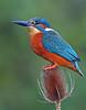 Kingfisher (oddie25) Tags: canon 1dx 600mmf4ii kingfisher kingfishers birds birdphotography bird nature naturephotography wildlife wildlifephotography teasel