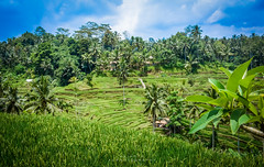 Tegallalang Rice Terrace (ajanth.v) Tags: tegallalang rice terrace plants paddy fields coconut tree green blue landscape outdoor nature travel photography bali indonesia nikon d7100 18140mm