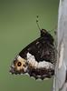 Motyle Schmetterlinge (arjuna_zbycho) Tags: motyle schmetterlinge schmetterling motyl lepidoptera insekten insecta falter tagfalter edelfalter