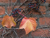 Deux feuilles (sosivov) Tags: sweden lund autumn autumncolours red yellow leaves wall blue berries
