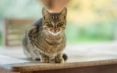 kittens (50) (Vlado Ferenčić) Tags: catsdogs cats vladimirferencic kitty kittens zagorje klenovnik animals animalplanet nikond600 nikkor8518 hrvatska croatia closeup
