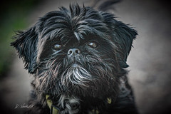 SHIH TZU (K.Verhulst) Tags: shihtzu hond dog pet huisdier coth5