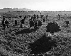 Harvest time - Thu hoạch lúa trên đồng - Nha Trang -1959 (Nguyen Ba Khiem) Tags: 1950s 1959 hìnhảnhxưa việtnam việtnamxưa nhatrang nhatrangxưa nguyễnbámậu phongcảnh quê lúa gặt nónlá