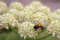 Solitary bee butt (JulieK (thanks for 6 million views)) Tags: hbbbt solitarybee insect invertebrate flora fauna ireland wexford hogweed wildflower grangebeach fethardonsea macro bokeh dof