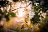 Misty gold. (jakub.sulima) Tags: nikon d3200 nikkor 50mm 18g natur nature naturaleza flora flores serene palnt plants flower flowers fleur leaf leaves foliage tree sun sunlight sunset sunshine sunny ray day evening summer spring field rain mist drizzle water drop weather dof landscape wet flickr goldenhour scenery pretty poland polish closeup blossom contrejour bokeh magic colours colorful brown green white yellow orange black outside outdoor