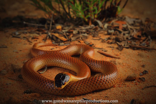 portrait: mitchell's short-tailed snake