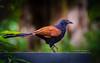 Greater coucal (Sreelesh Sreedhar) Tags: animal bird birdphotography birding creature tele kerala nikon nikonflickraward ngc nikond800 nature nikon200500 outdoor wildlife