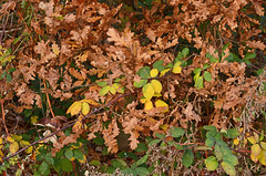 Autumn Heath (Gaz-zee-boh) Tags: hampsteadheath nature londonnature tree trees autumn autumncolours autumnsunday london londonist fall november nw6 publicpark municipalpark colour nikond7k nikon nikond7000 landscape seasonal orange northlondon leaf autumnleaf